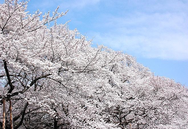 sakura*sakura_d0083623_21383062.jpg