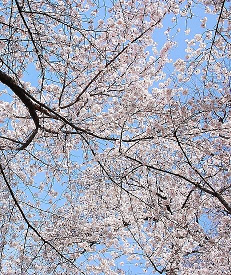 sakura*sakura_d0083623_21414212.jpg