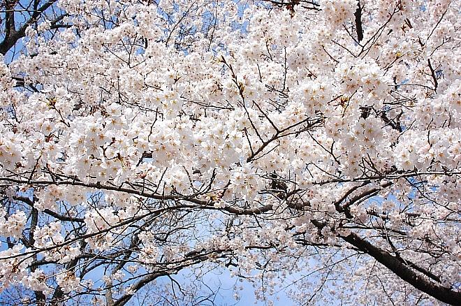 sakura*sakura_d0083623_21433566.jpg