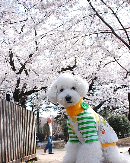 sakura*sakura_d0083623_21452835.jpg