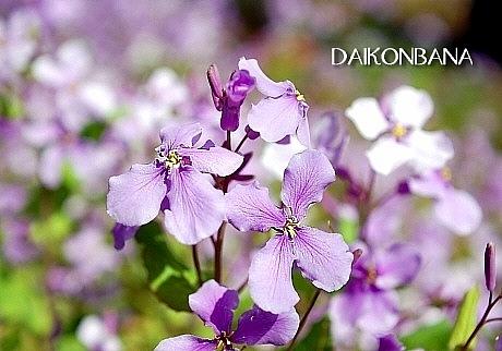 sakura*sakura_d0083623_21515565.jpg