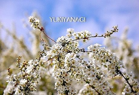 sakura*sakura_d0083623_21542755.jpg