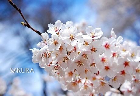 sakura*sakura_d0083623_21562598.jpg
