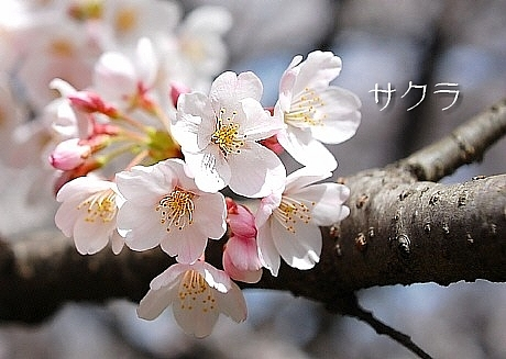 sakura*sakura_d0083623_21573385.jpg