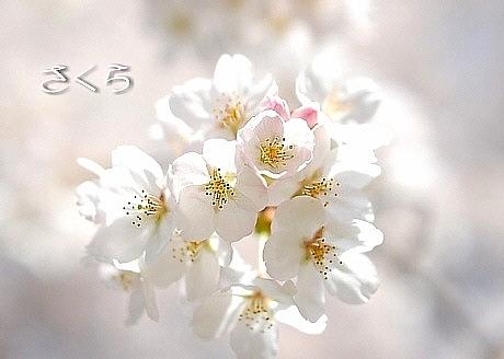sakura*sakura_d0083623_21575152.jpg