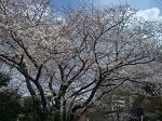 桜便り 3.29_d0065324_17202370.jpg
