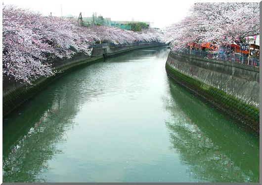 大岡川のさくら (撮りたて)_d0123528_10314372.jpg