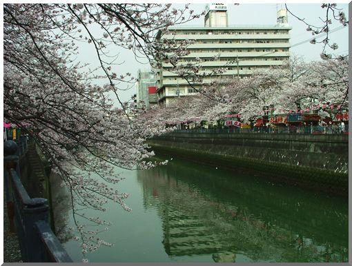 大岡川のさくら (撮りたて)_d0123528_10424714.jpg