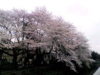 sakura_c0076939_1638226.jpg