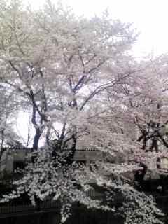 sakura_c0076939_1638257.jpg