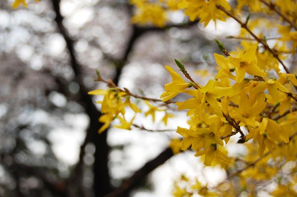 四ッ谷の桜_a0003650_17172045.jpg