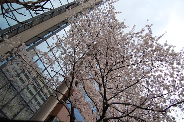 四ッ谷の桜_a0003650_17193542.jpg