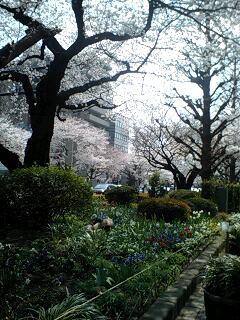 桜満開_d0028272_8263833.jpg