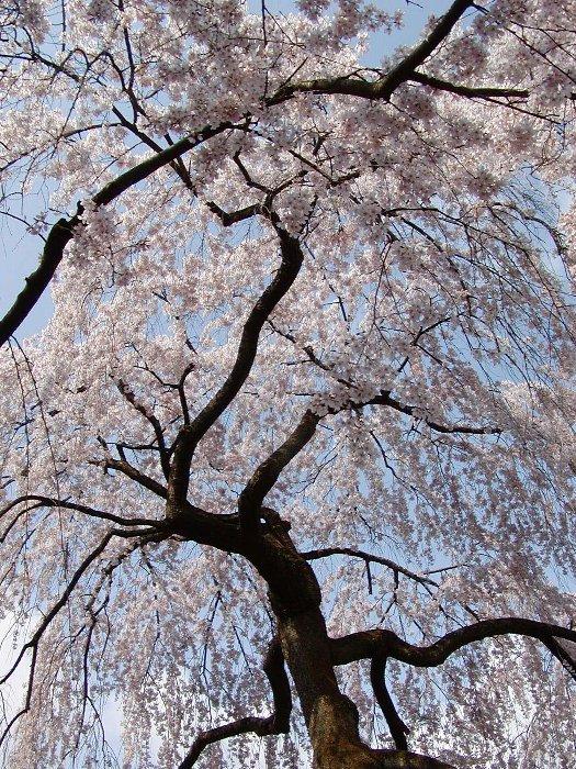 枝垂れ桜 満開_c0057390_23123611.jpg