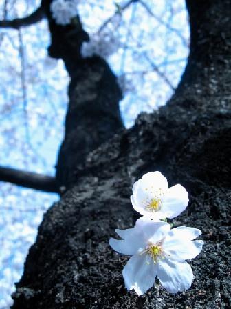 桜人           _f0061797_22311741.jpg
