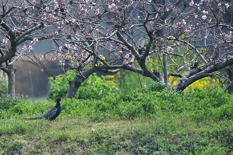 花園のキジ_b0024798_5562419.jpg
