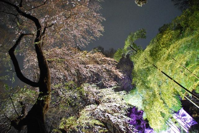 六義園の夜桜 1/2_e0019200_21544289.jpg