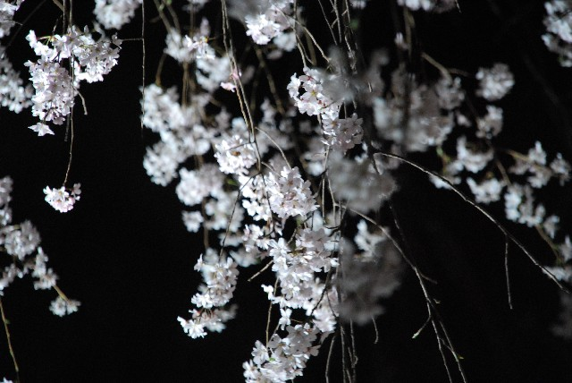 六義園の夜桜 1/2_e0019200_21573971.jpg