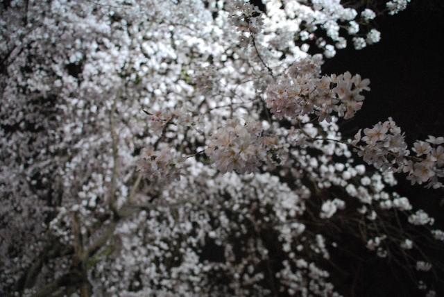 六義園の夜桜 1/2_e0019200_2158869.jpg