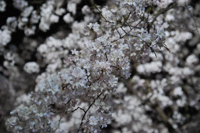 六義園の夜桜 1/2_e0019200_220388.jpg