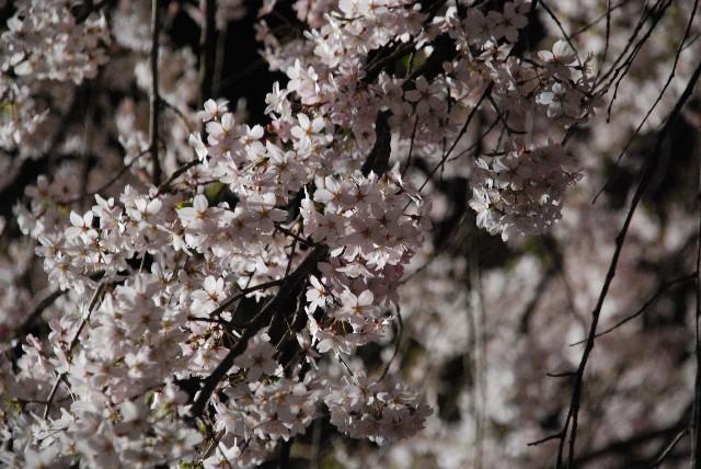 六義園の夜桜 1/2_e0019200_2205520.jpg
