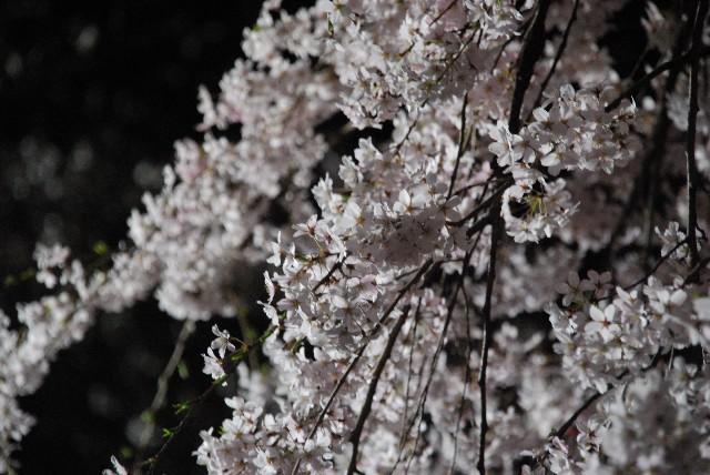 六義園の夜桜 1/2_e0019200_2211369.jpg