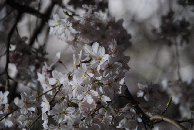 六義園の夜桜 1/2_e0019200_2212727.jpg