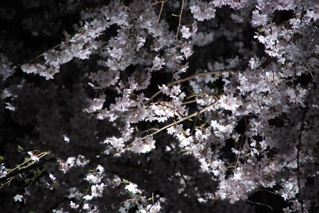 六義園の夜桜 2/2_e0019200_22133830.jpg