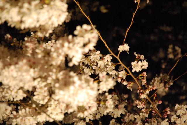六義園の夜桜 2/2_e0019200_2213715.jpg