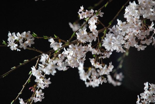 六義園の夜桜 1/2_e0019200_2214245.jpg