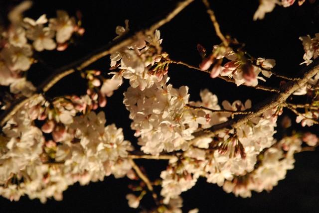 六義園の夜桜 2/2_e0019200_22211331.jpg