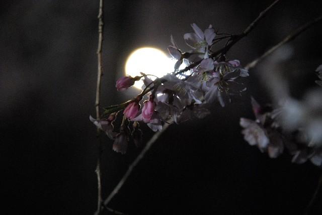 六義園の夜桜 1/2_e0019200_2225156.jpg