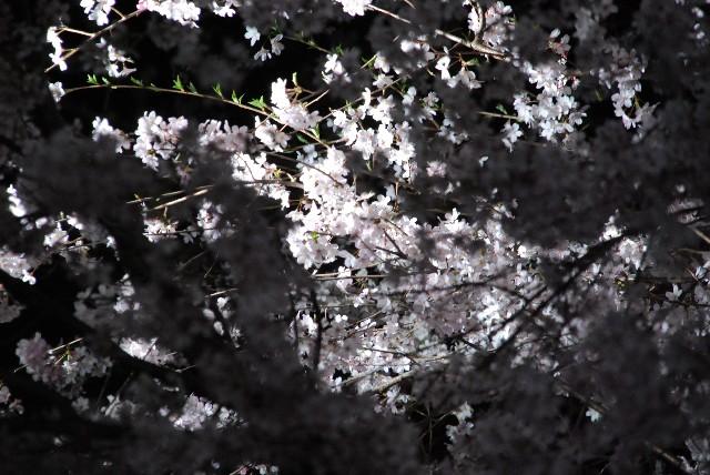 六義園の夜桜 1/2_e0019200_2233163.jpg