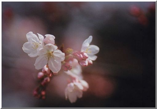 春爛漫・さくら (ストックより投稿)_d0123528_1642488.jpg