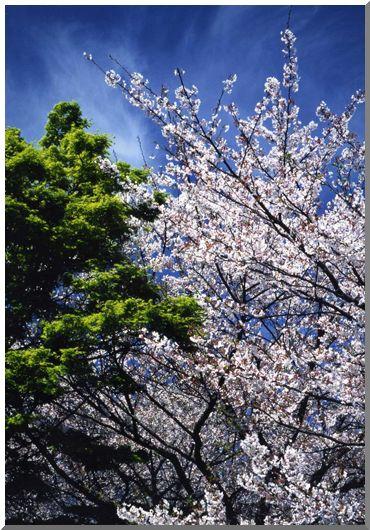 春爛漫・さくら (ストックより投稿)_d0123528_16581545.jpg
