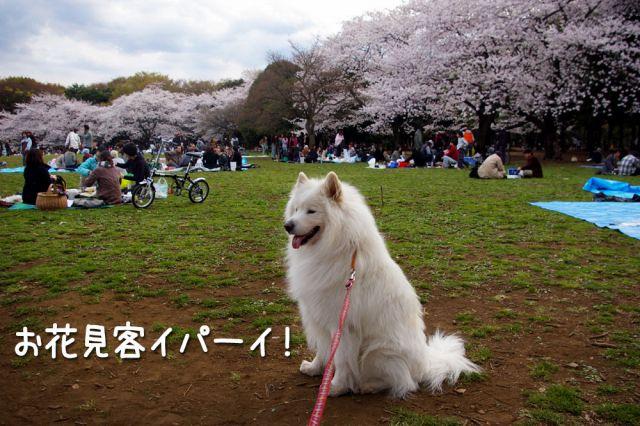桜とモフモフ_c0062832_19273127.jpg