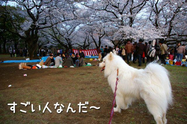 桜とモフモフ_c0062832_19304365.jpg