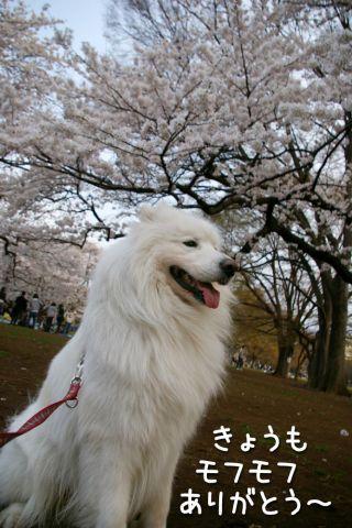 桜とモフモフ_c0062832_19311125.jpg