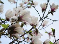 コブシの花_f0108133_9464175.jpg