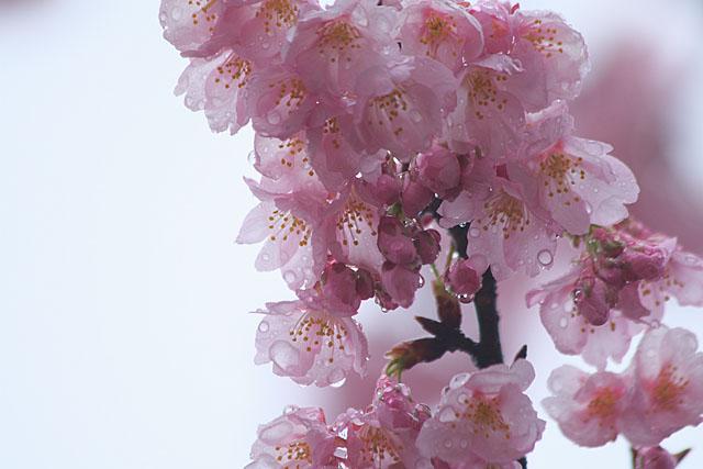 めぐみ公園の桜_c0067040_22161576.jpg