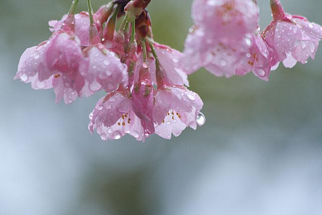 めぐみ公園の桜_c0067040_22185247.jpg