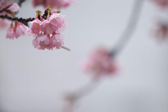 めぐみ公園の桜_c0067040_22243625.jpg