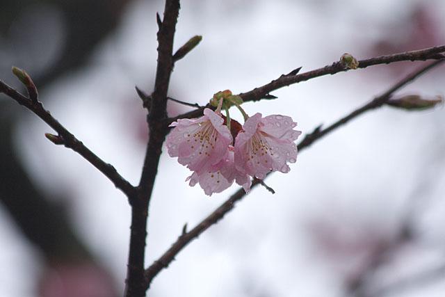 めぐみ公園の桜_c0067040_22251218.jpg