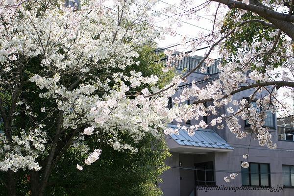 雪柳&桜_a0106457_23495928.jpg