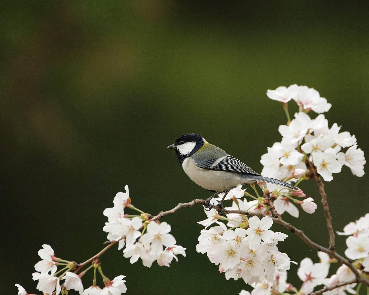 桜満開です。_f0105570_2372547.jpg