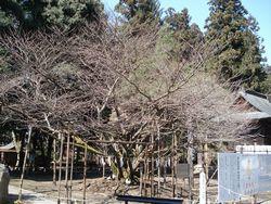 春待つ桜・薄墨桜、虎の尾桜 ...