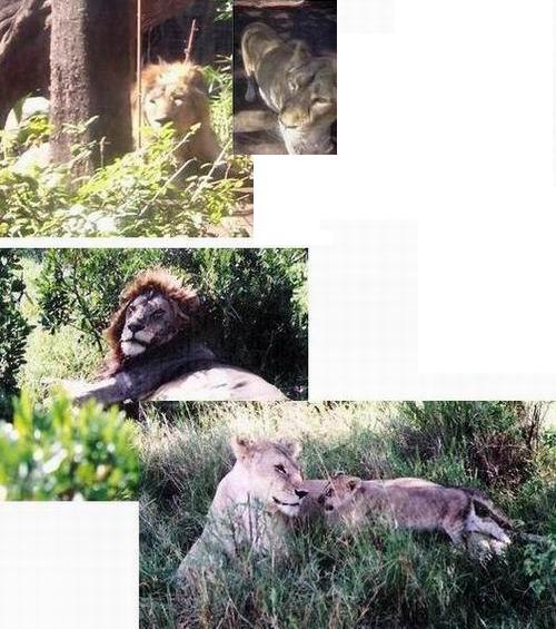 上野動物園のインド・ライオンとマサイマラのライオン、そしてケニアの状況について_f0045090_1741829.jpg