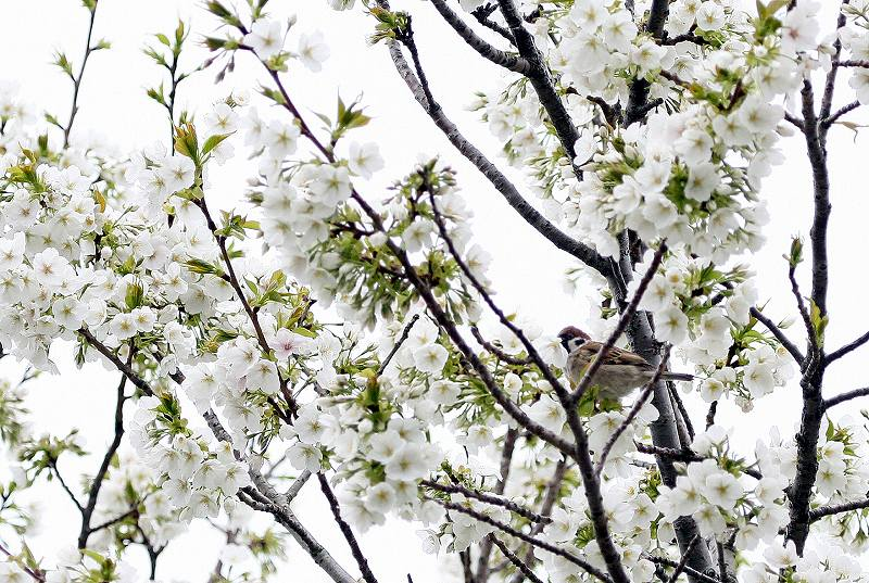桜にスズメ_f0117296_1737984.jpg