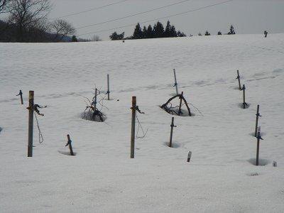 山ぶどうは雪の中です_f0120697_1191198.jpg