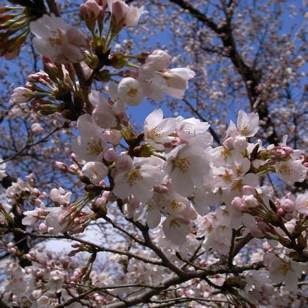 京都府立植物園の桜だより_c0141005_2313110.jpg